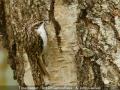 JohnCaswell_TreecreeperArtOfCamouflage