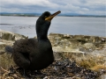 European Shag by Sue Davis