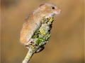 Harvest Mouse on Lichen Twig by Julie Hall