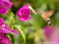 Hummingbird Hawk-Moth on Bougainvillea by Julie Hall