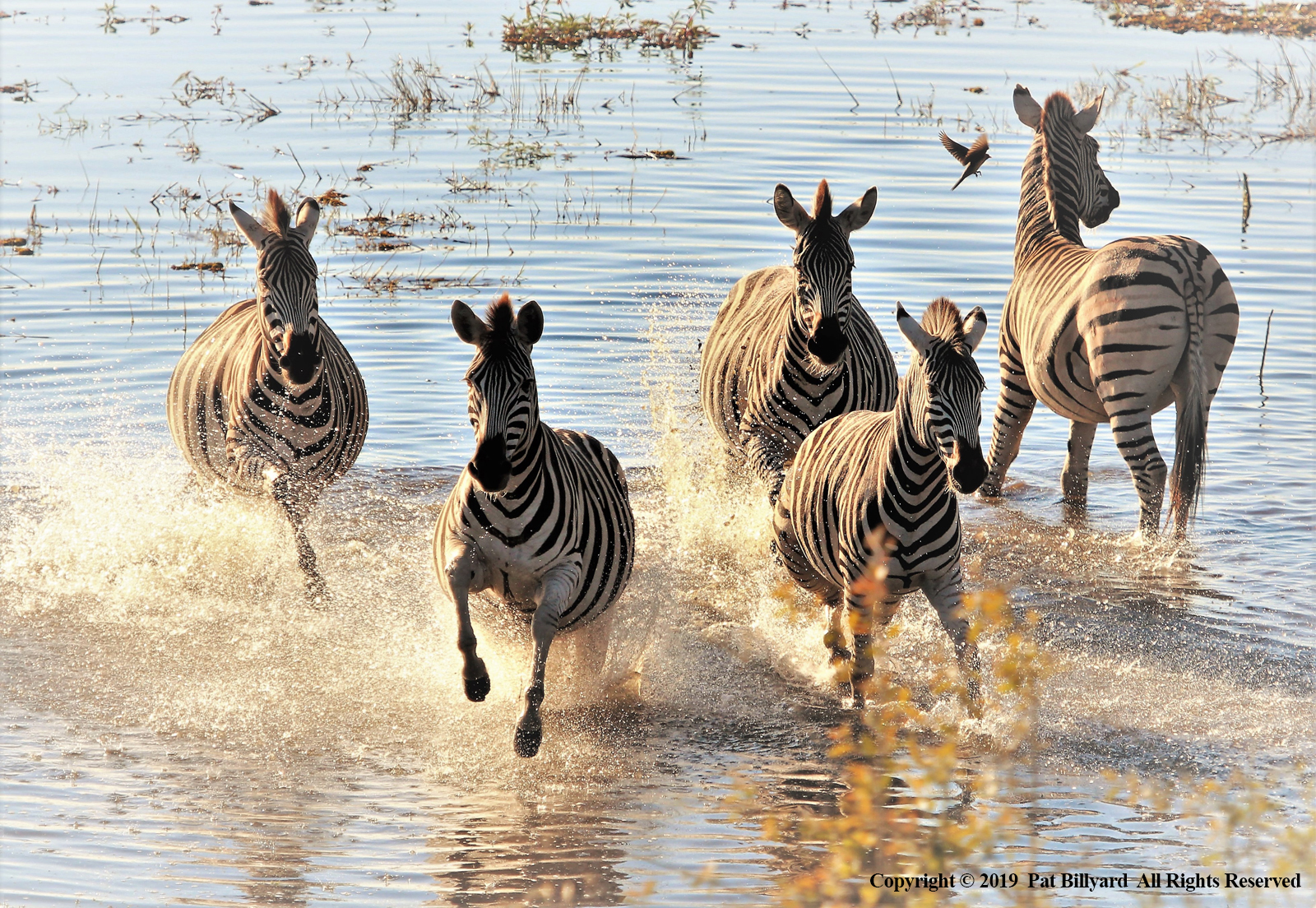 5 Burchell's zebra and 1 oxpecker by Pat Billyard