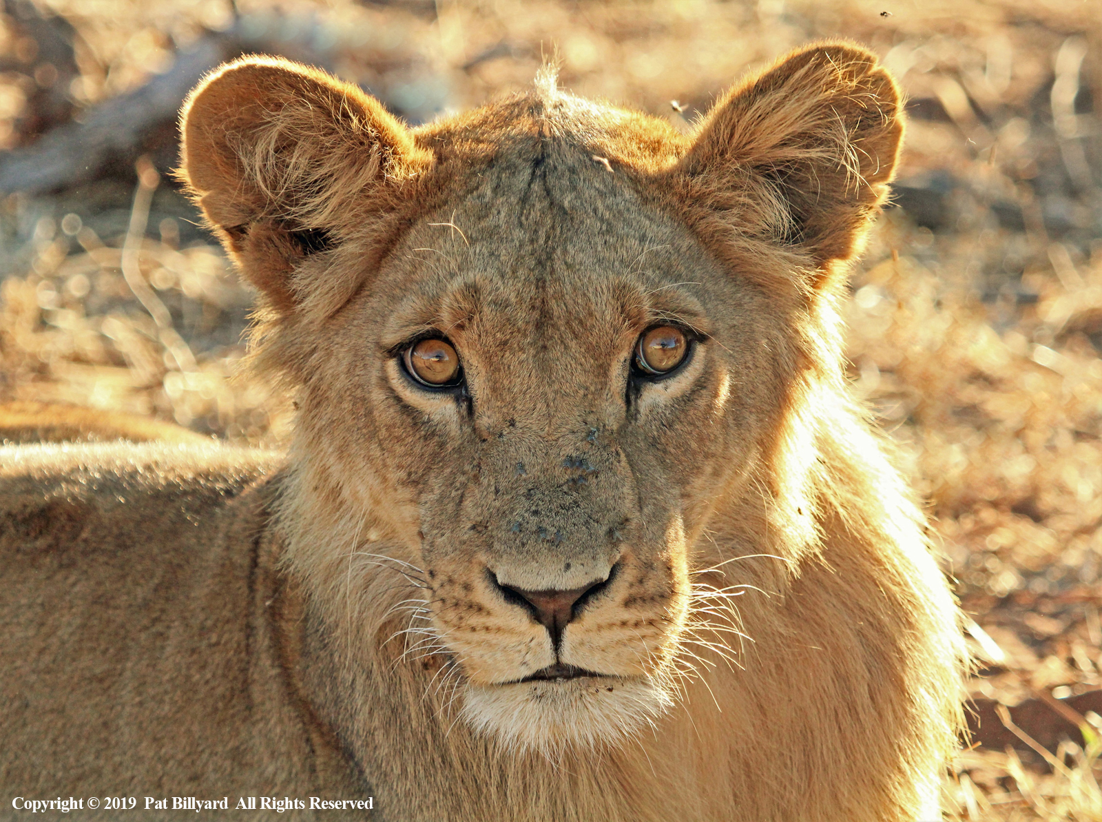 African lion by Pat Billyard