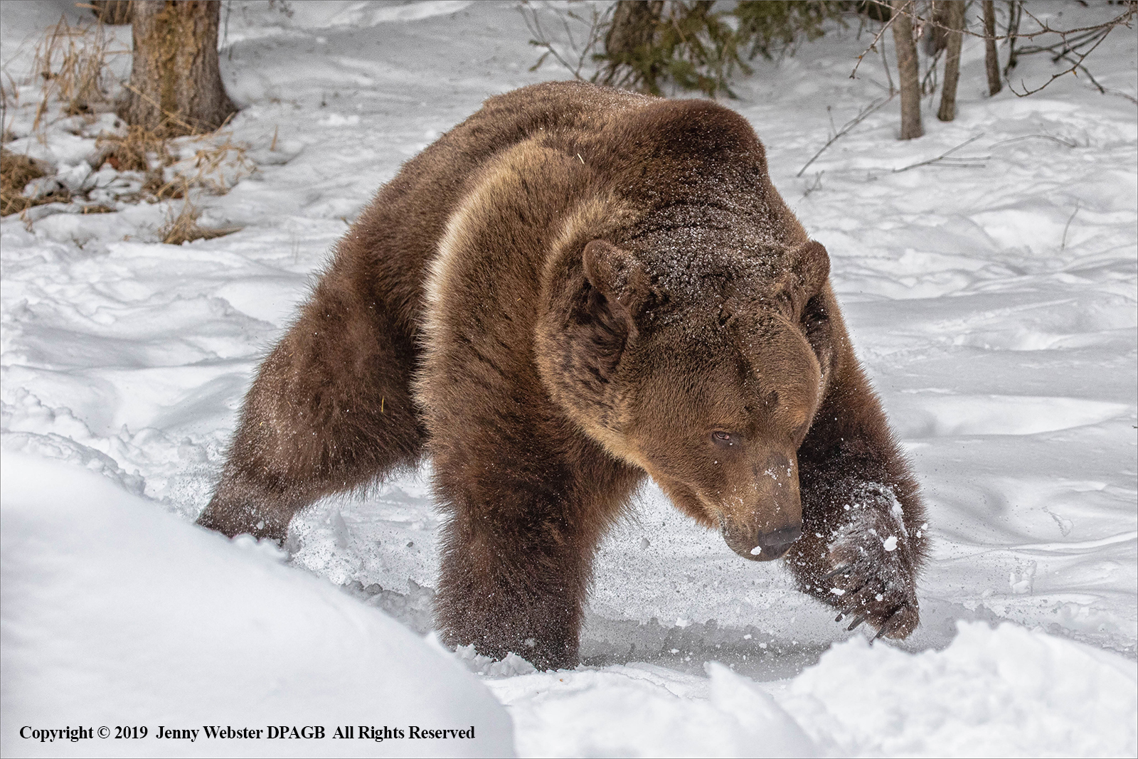 Male Grizzly Bear in the Snow by Jenny Webster