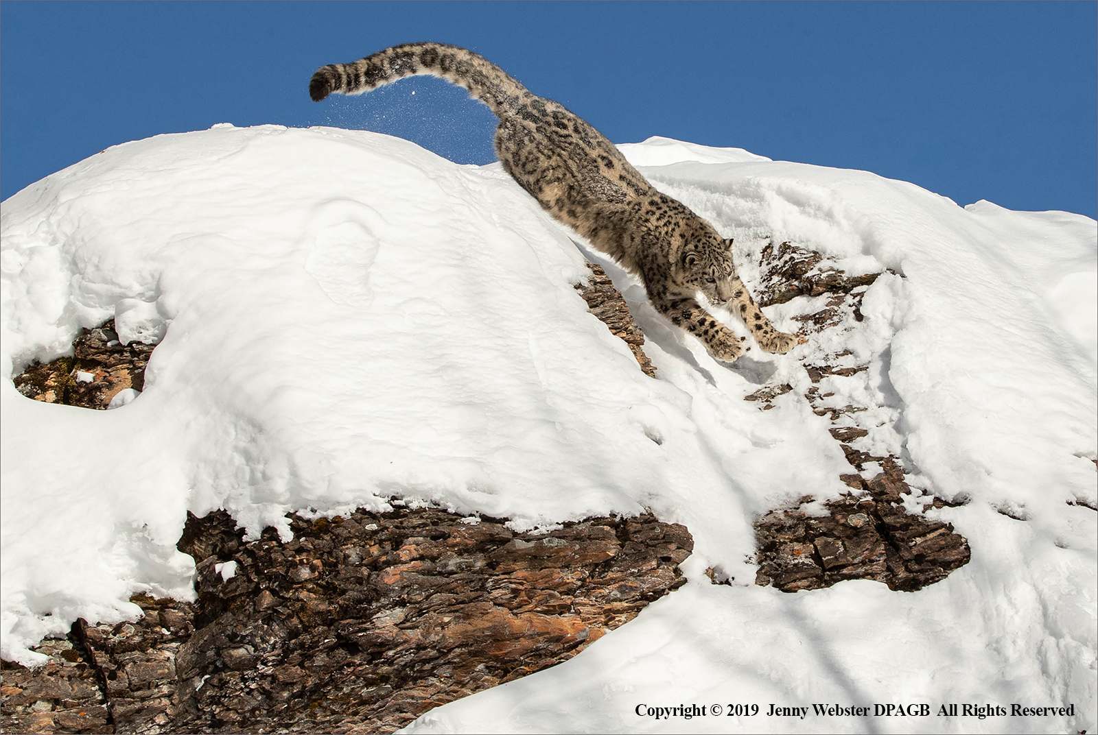 Snow Leopard in full charge by Jenny Webster