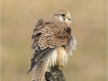 Kestrel Female With Ruffled Feathers
