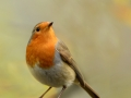 MikeChilds_Robin