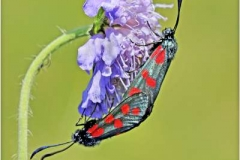 Spot-Burnet-Moths-paired-by-Barry-Green