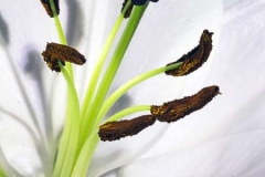 Stamen-on-Lily-by-Roger-Lewis