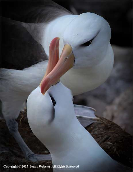 Black-Browed-Albatross-Bonding-by-Jenny-Webster