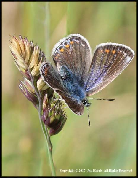 Common-Blue-Butterfly-by-Jan-Harris