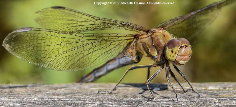 Dragonfly-by-Michelle-Chance