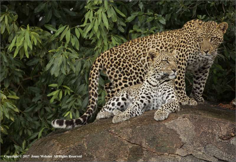 Leopardess-and-Son-by-Jenny-Webster