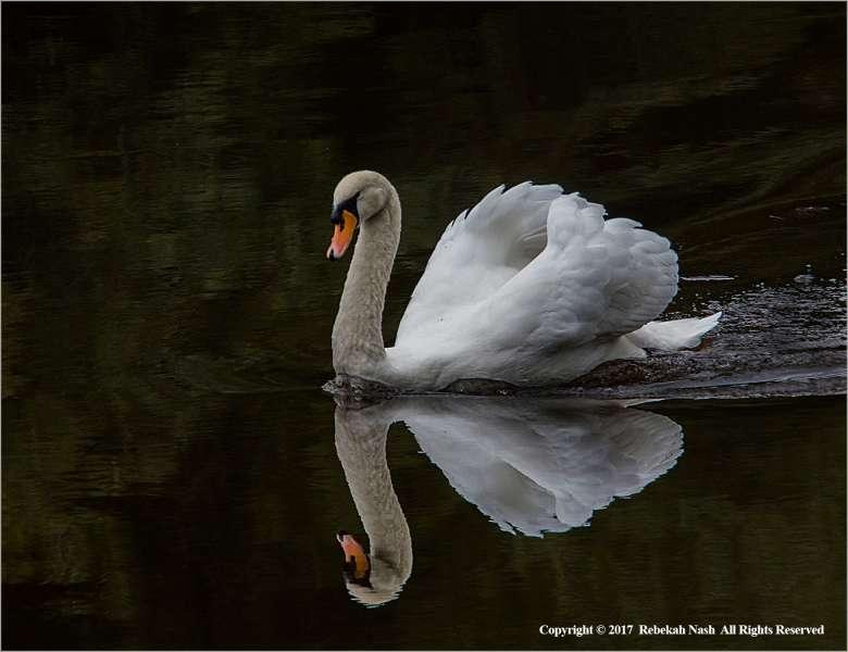 Majestic-River-Severn-Swan-by-Rebekah-Nash