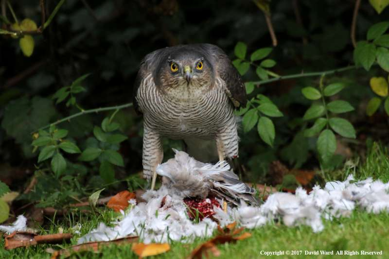 Sparrowhawk-with-Kill-by-David-Ward