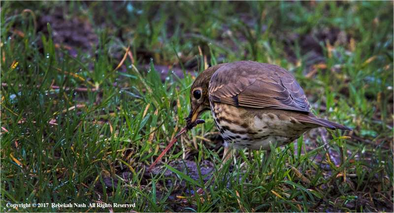 Thrush-with-worm-by-Rebekah-Nash