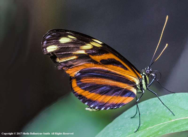 Tiger-longwing-by-Sheila-Ballantyne-Smith