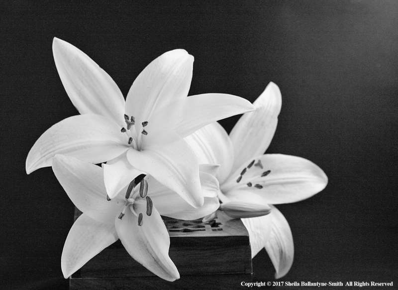 White-lilies-by-Sheila-Ballantyne-Smith
