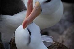 Black-Browed-Albatross-Bonding-by-Jenny-Webster