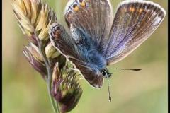 Common-Blue-Butterfly-by-Jan-Harris