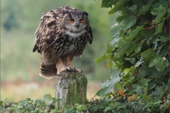 Eagle-Owl-on-Watch-by-Jenny-Webster