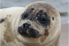 Grey-Seal-Pup-by-Jill-Howe