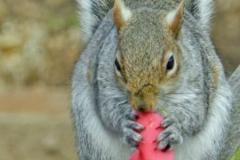 Grey-Squirrel-eating-by-Sheila-Ballantyne-Smith