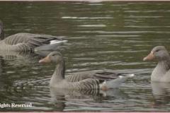 Greylagg-Geese-by-Sheila-Billingham