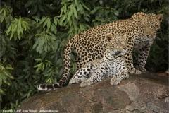 Leopardess-and-Son-by-Jenny-Webster