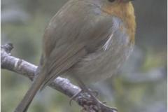 Robin-in-the-rain-by-Sheila-Billingham