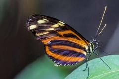 Tiger-longwing-by-Sheila-Ballantyne-Smith
