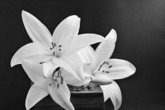 White-lilies-by-Sheila-Ballantyne-Smith