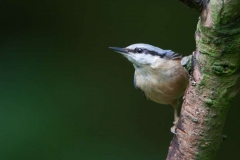 Nuthatch-by-Richard-Chapman