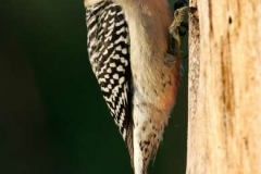 Red-Bellied-Woodpecker-by-Richard-Chapman