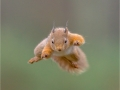 JulieHall_RedSquirrelJumping