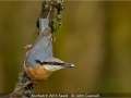 JohnCaswell_NuthatchWithSeed