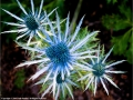 Sea Holly by Ruth Seadon