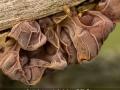 EleRea_AuriculariaauriculaJudae