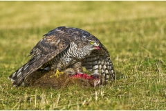 2-Goshawk-with-Rabbit