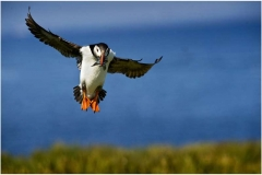 A1.-Puffin-Landing-with-Sand-Eels-