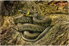 Grass-Snake-4-copy