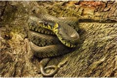 Grass-Snake-5