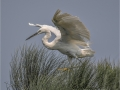 Egret on Papyrus by Roger Tyler