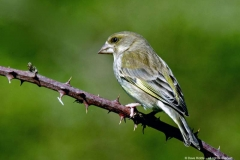 C_3-FEMALE-GREENFINCH
