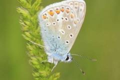 C_common-blue