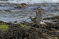 C_curlew-wing-stretch