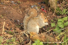 C_grey-squirrel