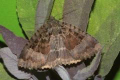 C_old-lady-moth