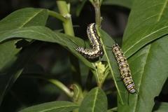 caterpillar-monach-butterfly