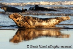grey_seals_at_sea_edge