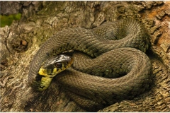 Female-Grass-Snake
